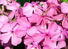 PINK PARADE (MANIFEST! /Rita Timmins) Tags: canada lund flower bc powellriver