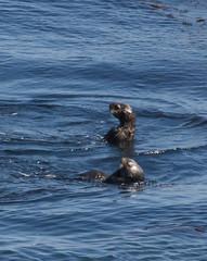 Sea Otters Photo