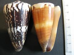 Conus planorbis forma vitulinus (Cebu-Man) Tags: seashells paradise philippines cebu bohol palawan siargao conus conchology conidae kegelschnecken conuslividus conustribblei