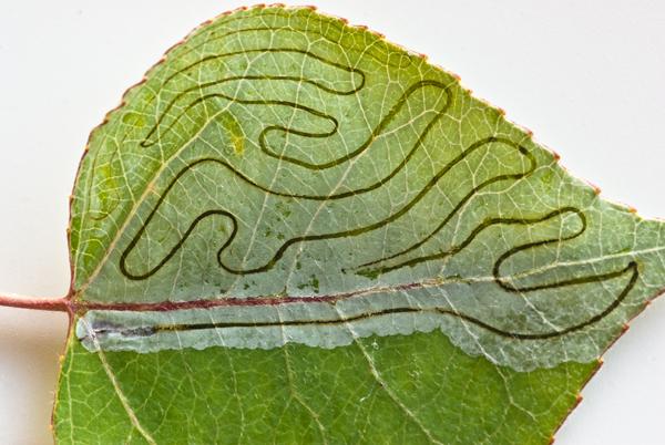 Aspen leaf trails