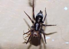 Parson Spider eating Cobweb Weaver (skotdog) Tags: macro spider cellar parsonspider raynoxdcr250