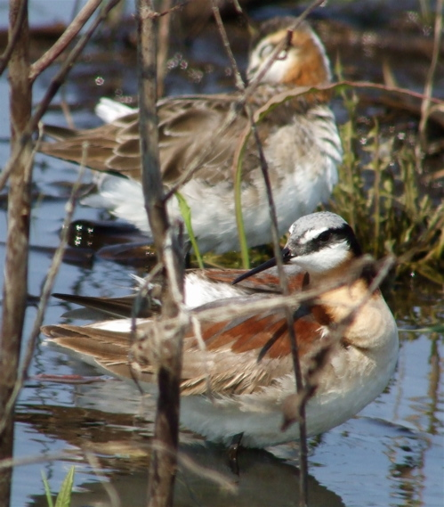Pair of Wilson's Phalaropes