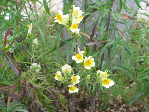 Yellow Paqrking Lot Flowers