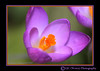 Single Crocus (chetty3) Tags: flowers macro nature canon garden petals spring purple crocus stamens doublefantasy sigma105mmf28 fantasticflower eos40d wonderfulworldofflowers 100commentgroup 100commentsgroup