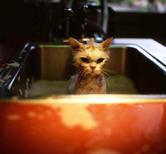 definitely not happy (manyfires) Tags: portrait film animal cat work mediumformat bath sink mo hasselblad veterinary hasselblad500cm thecatwhoturnedonandoff mosmomisoneofourtechs shesactuallyelliotsmomtoo