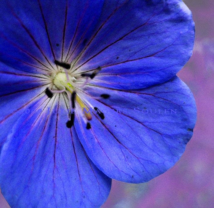 vivid blue wild geranium