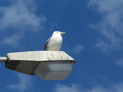 sconsigliato parcheggiare lì sotto :) (fotomie2009) Tags: sky mediterraneo seagull gabbiano reale larus larusmichahellis michahellis gabbianoreale gabbianorealezampegialle zampegialle