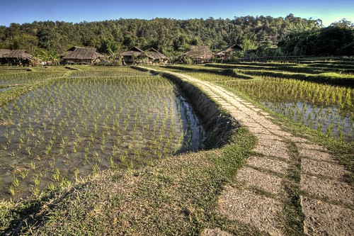 Rice Paddies of Baan Tong Luang