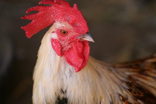 Finn rooster