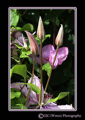Clematis_The Next Generation (chetty3) Tags: pink flowers nature canon garden clematis buds sigma105mmf28 eos40d