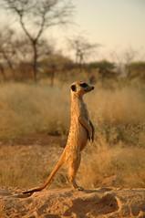 Meercat, Namibia