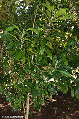 Lunasia amara - Lunasia (Black Diamond Images) Tags: queensland australiannativeplant rutaceae australiannativeplants australianplants rainforestplants rainforestplant arfp australianrainforestplant australianrainforestplants qrfp lunasiaamara lunasia townsvillepalmetum townsvillebotanicgardens tbgarfp tparfp townsvillepalmetumcollection townsvillebotanicgardenscollection galleryarf lowlandarf cyrfp