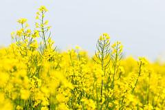 Rapeseed (Håkan Dahlström) Tags: field yellow skåne sweden raps skåne f40 rapeseed 2011 träne ef200mmf28lusm canoneos5dmarkii ¹⁄₄₀₀sek