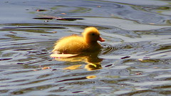 The real thing (* RICHARD M) Tags: cute nature water birds reflections spring wildlife lakes duckling ducks april waterfowl ornithology southport springtime sefton heskethpark