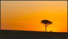 African Minimalism (Joost N.) Tags: africa light wild orange sun sunlight tree animal sunrise golden open kenya african wildlife boom simplicity afrika plains gazelle solitary kenia acacia antilope zonsopgang