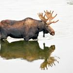 Shiras Moose Bull Crossing the Green River on Seedskadee NWR 1 thumbnail