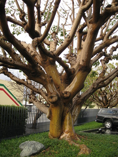 Heavily pruned coast coral tree (Erythrina caffra) in office building parking lot
