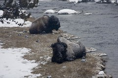 Yellowstone park (Arlindo fernandes) Tags: animal bizon yellowstonepark