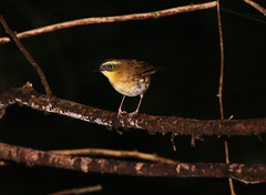 Yellow-throated Scrubwren (Mister Troy) Tags: birds australia newsouthwales forestpath royalnationalpark sericorniscitreogularis yellowthroatedscrubwren