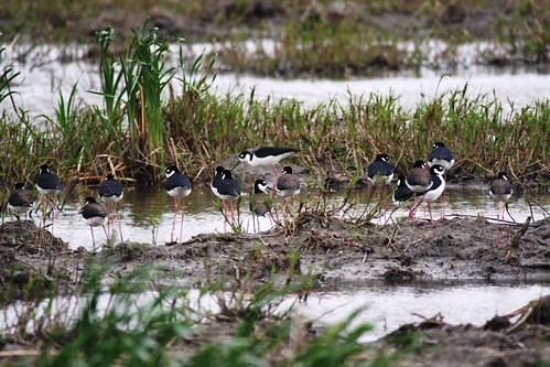 Black-necked Stilts - 2/28/2009
