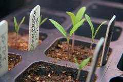 tom seedlings