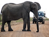 Elephant Blocking Road For Herd, Masai Mara (photo by Constantine Markides)