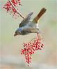 #403 黃腹順毛 (Trapeze Show) (John&Fish) Tags: wild bird nature wow taiwan best blueribbonwinner supershot specialtouch ishflickr lightstylus alemdagqualityonlyclub lesamisdupetitprince