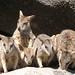 Wallabies - Australia Study Abroad