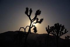 Joshua Trees, night (colin grubbs) Tags: california park longexposure moon tree silhouette night desert joshuatree national moonrise nikond40