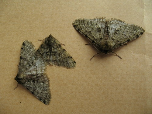 Pale Brindled Beauties, Phigalia pilosaria, by Brian of The Natural Stone