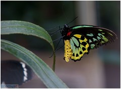yellow green butterfly (pipeguru) Tags: game wildlife challengeyouwinner alpha700 pfogold pfosilver beautifulworldchallenges dragondaggerphoto