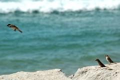 pardais da praia (Gustty) Tags: ocean sea bird praia beach rock mar frozen passarinho pássaro atlantic gustavo birdy oceano rocha gustty congelados atlântico pardais veríssimo pardaisnapraia pássaroconirrostro smallgreybrownbirdwhichisespeciallycommonintowns conirrostro gustavoveríssimo wwwflickrcomphotosgustty