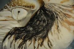 Nautilus Rasta Shell