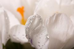 Tears of spring