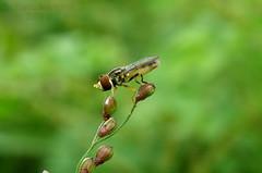 Hoverfly (José Bernardo) Tags: ecuador mosca natures hoverfly colon manabi potofgold portoviejo sirfida