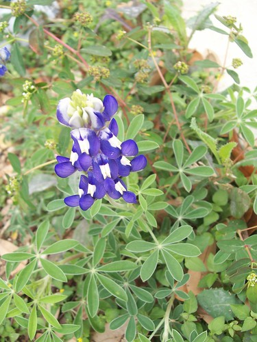 blue bonnet