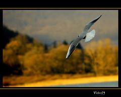 Il volo (sirVictor59) Tags: italy lake colour nature topf50 italia nikond70 topv1111 volo 1001nights 70300mm topf150 topf100 viterbo topf200 lazio lagodivico sirvictor59