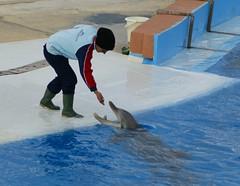 How do they teach the dolphins to perform tricks? (CaptiveDolphins-vs-WildDolphins) Tags: malta dolphins shame delphinarium malte mediteraneo maltagozo marinelands mediterraneomarinepark captivedolphins themediteranneomarineparkinmaltaisashame unehonte unaverguenza dauphinscaptifs themediteranneomarineparkinsliemathemediteranneomarineparkinmalta themediteranneomarinepark dauphinsdelfines delfinescautivos