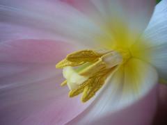 ein zartes Wunder (Wischhusenpixel) Tags: detail macro flickr award frühling tulpe cubism connywischhusen
