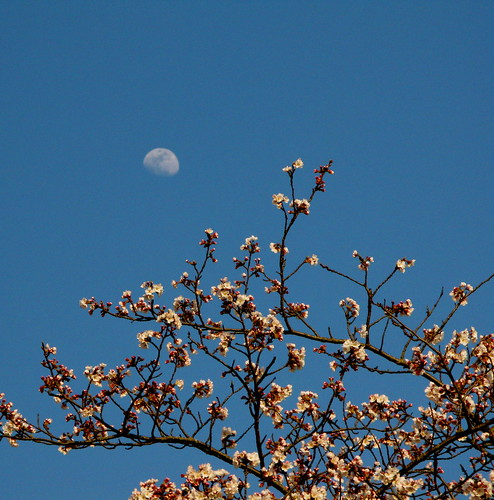 The cherry tree beckons the moon...