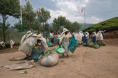 Tea pickers (Veronika Roosimaa) Tags: india kerala teaplantation munnar teapickers nikond90 veronikaroosimaa sigmaaf1850mmf28exdchsmmacro