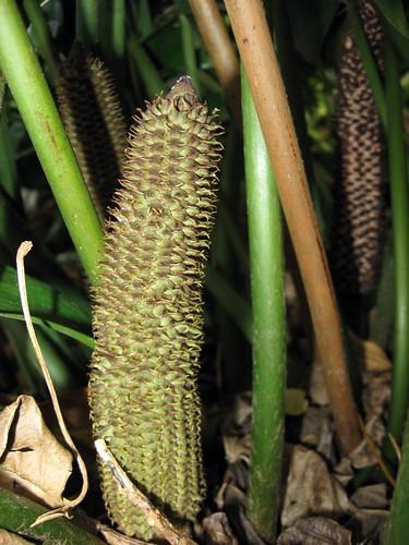 ceratozamia hildae cone