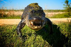 The American Alligator: Apex Predator (www.matthansenphotography.com) Tags: trees shadow sky plants sun detail eye nature water grass closeup walking crazy blood focus texas dof pov path gator reptile character wildlife teeth alligator stepping crocodilian chance tension throat charging gettyimages duckweed barred hiss daring territorial americanalligator risky oob brazosbendstatepark alligatormississippiensis dangerousanimals bokah northamericanwildlife abigfave abigfav theunforgettablepictures apexpredator matthansen