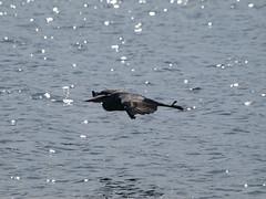 Heron (WaterBugsPics) Tags: wild bird nature water beautiful grey beautifull greyheron phoddastica
