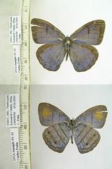 Caeruleuptychia helios