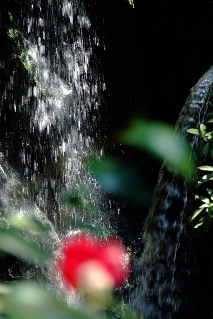 A camellia and a waterfall