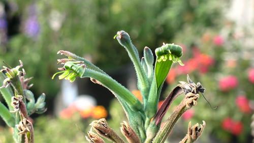 green Kangaroo Paw
