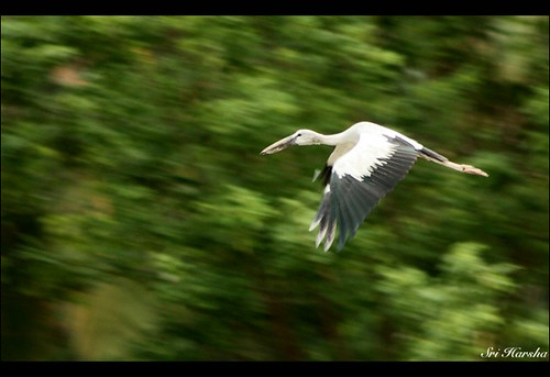 Asian Openbill Stork | In Flight