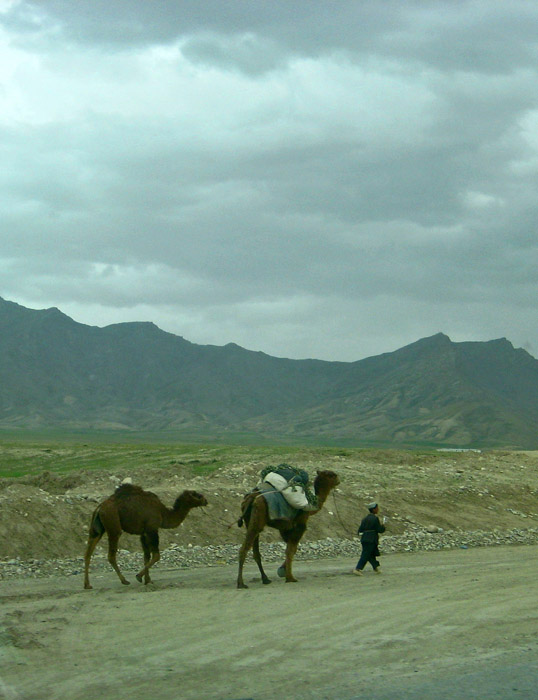Parwan Camels2