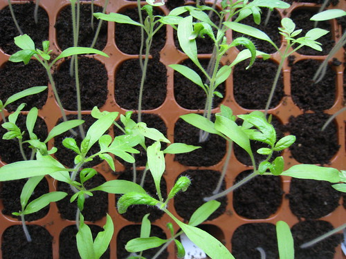 how to grow tomato plants from seedlings